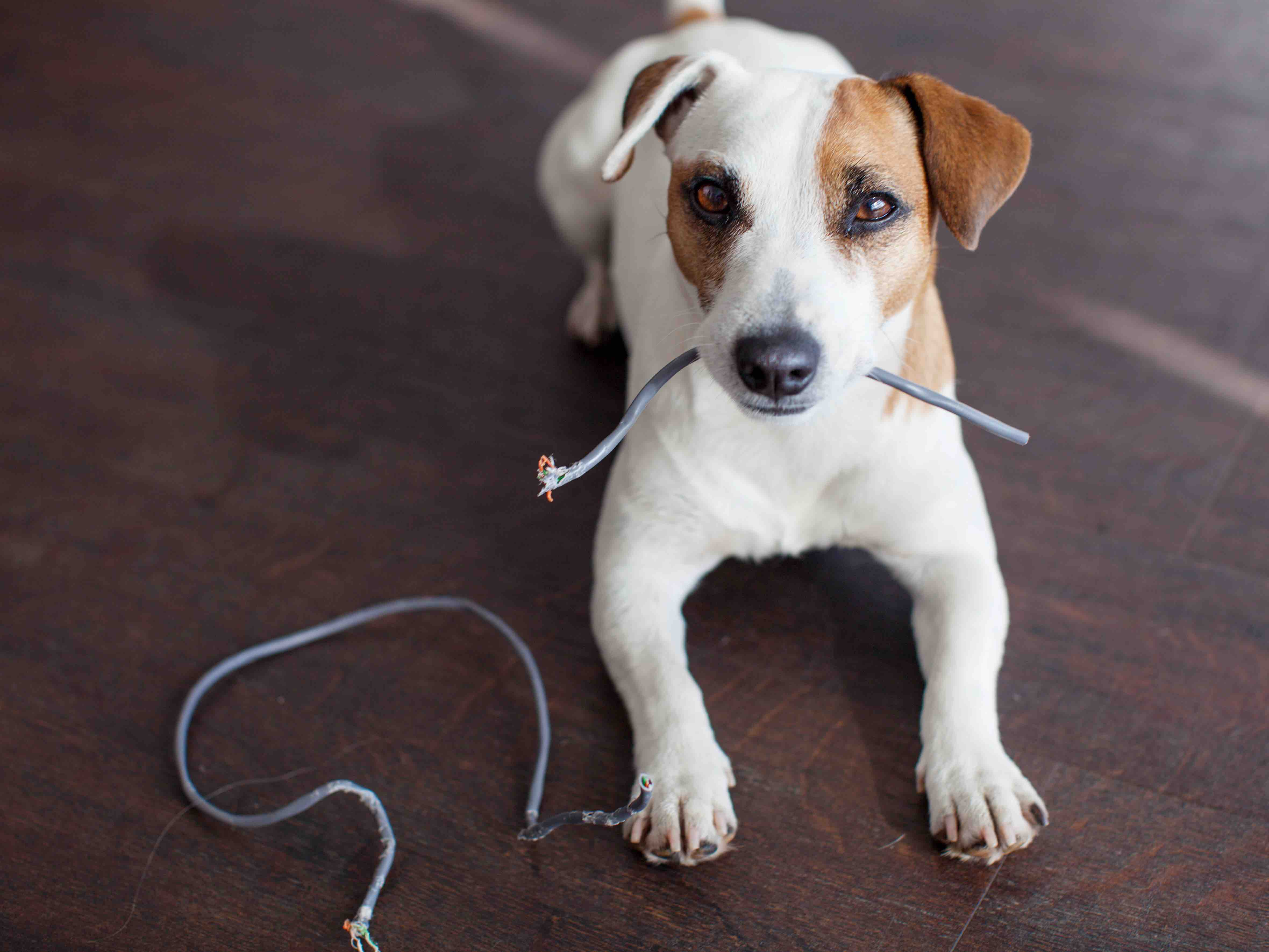 Dog chewing wiring
